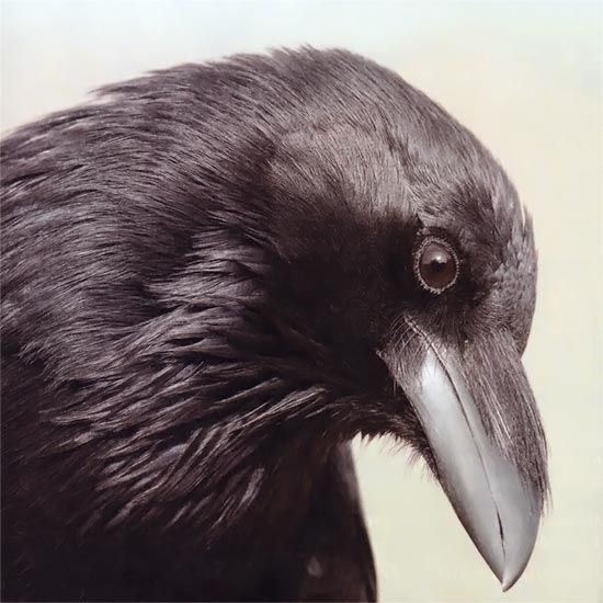 Crows are some of the smartest and most social of all birds. If they are your neighbors, watch carefully and you might be amazed. From MOTHER EARTH NEWS magazine.