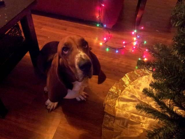 Will Santa bring me a present??? #bassethound #Christmas #PhotographyBassethound Christmas