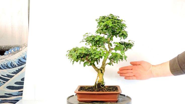 Vídeo 360º Bonsai Ligustrum sp  Aligustre ref LG05
