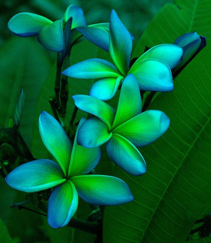 Blue and Green Plumerias - love this color combination: Colors Combos, Plumeria Flowers, Hawaiian Flowers, Neon Green, Blue Green, Bluegreen, Colors Combinations, Green Flowers, Tropical Flowers