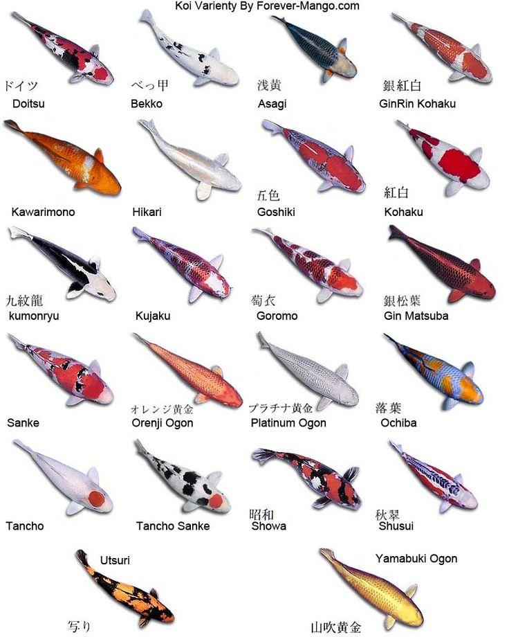 Le carpe Koi giapponesi sono dei bellissimi e colorati pesci