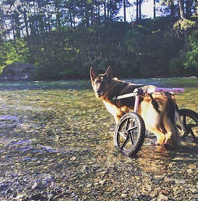 Cash is an 11-year-old, purebred German Shepherd, and I have had him since he was 8 weeks old. He has Degenerative Myelopathy, which has been progressing for about a year now, but he's only needed the dog wheelchair for two months. He's an amazing friend. So quiet and patient. I'm so thankful we have the Walkin' Wheels so he can go to the park and bring home sticks! He has a little garden at home…