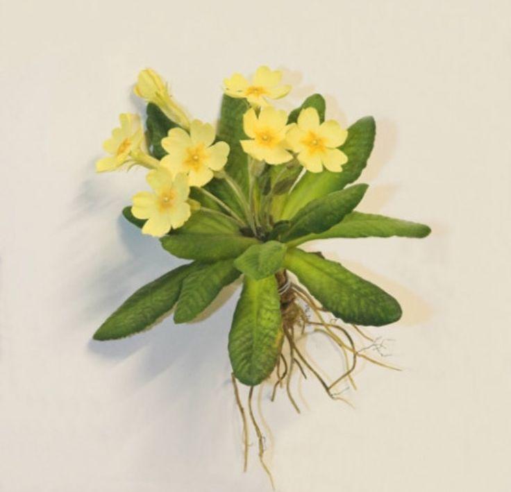 Primrose | Botanical prints, Botanical art, Botanical drawings