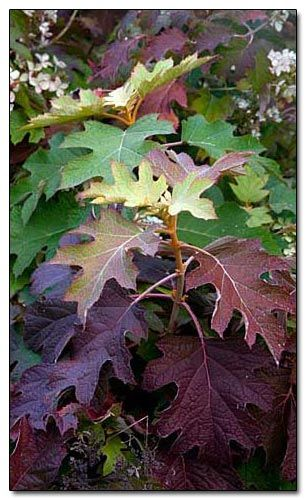 oak leaf hydrangea - Hydrangea quercifolia; good leaf shape, textural, Summer flowering and gorgeous red foliage in the Autumn.