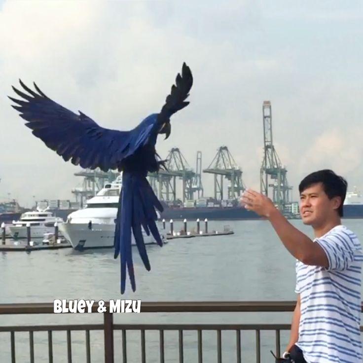 Mizu on the pier. 😊  Mizu taking his time to come in! 😊👍🏻 #hyacinthmacaw #parrots #macaws #loro #guacamaya #papagaio #papegøje #papegaai #papagei #pappagalli #papuga #Попугаи #papağan #鸚鵡  #affinityflight #parrot #macaw #guacamayo #arara #perroquet #papagaj #pappagallo #papegøye #Попугай #papegoja #ببغاء #オウム#앵무새 #طوطی #flyingparrots #freeflyingparrots #greenwingmacaw #blueandgoldmacaw #conure #sunconure