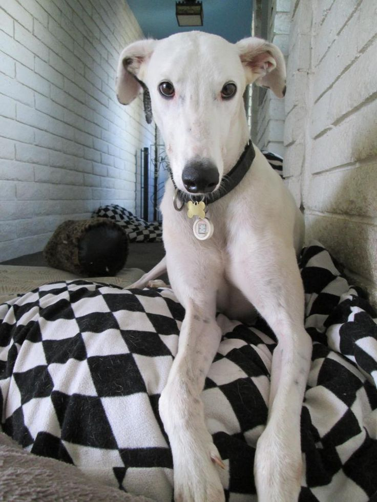 4121 Best Images About Greyhounds 2 On Pinterest