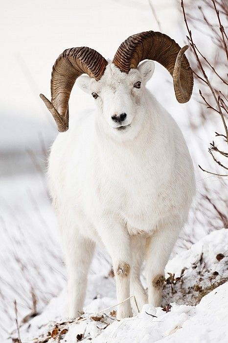 Dall Sheep - The Dall sheep (originally Dall's sheep), Ovis dalli, is a species of sheep native to northwestern North America, [Yukon, BC & Alaska] ranging from white to slate brown in color and having curved yellowish brown horns. Its closest relative is the more southern subspecies, Stone sheep