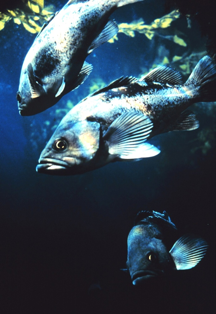 """These guys are not kidding around. I can almost hear the one in the middle saying, """"You talkin' to me??""""    Black Rockfish - NOAA's Sanctuaries Collection - Location: California, Monterey Bay National Marine Sanctuary - Photographer: Kip Evans"""