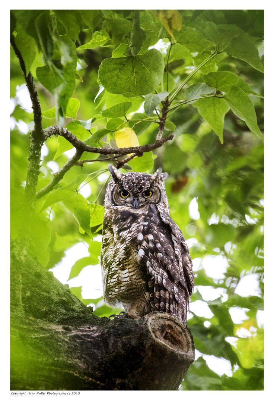 Owl, Knysna 2014