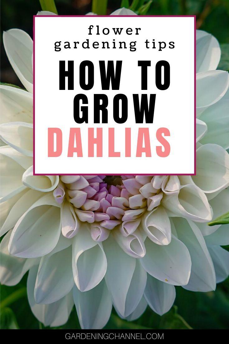 How To Grow And Overwinter Dahlias Growing Dahlias Dahlia Planting Flowers