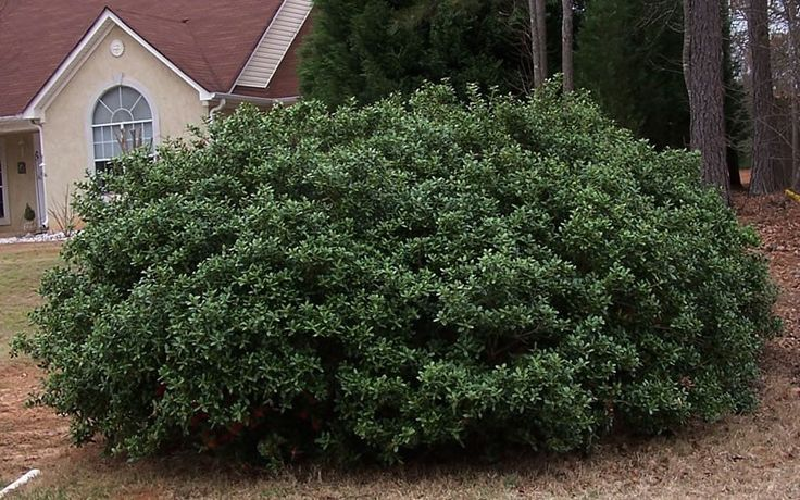 burford holly   Gardenality.com » Members » Pictures » Dwarf Burford Holly Picture