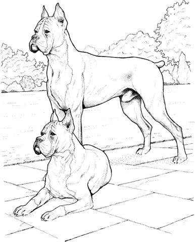 DOGS - Two boxers