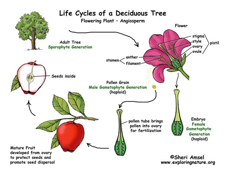 Flowering Plant Life Cycle. angiosperm life cycle