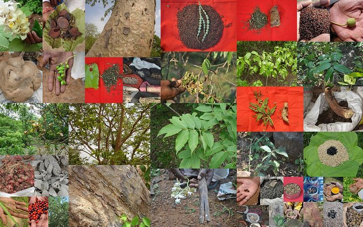 Medicinal Rice based Tribal Medicines for Diabetes Complications and Metabolic Disorders (TH Group-1014) from Pankaj Oudhia's Medicinal Plant Database