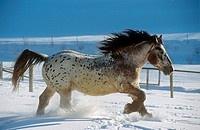 Noriker horse - walking in snow
