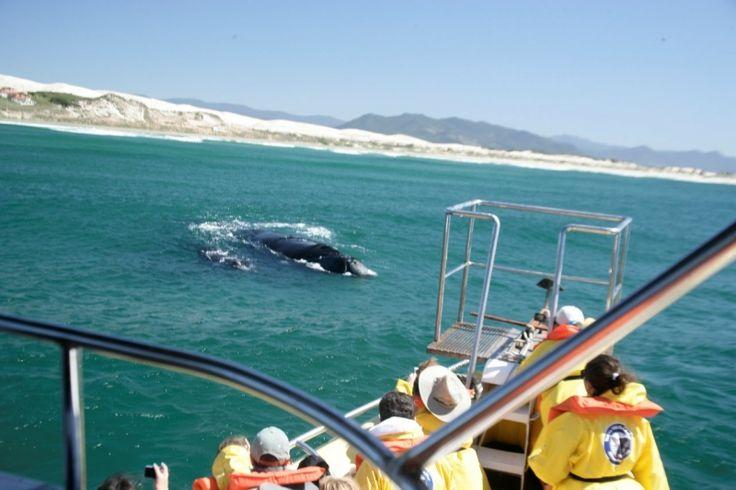 Resultado de imagem para grupo vida sol e mar observação de baleias