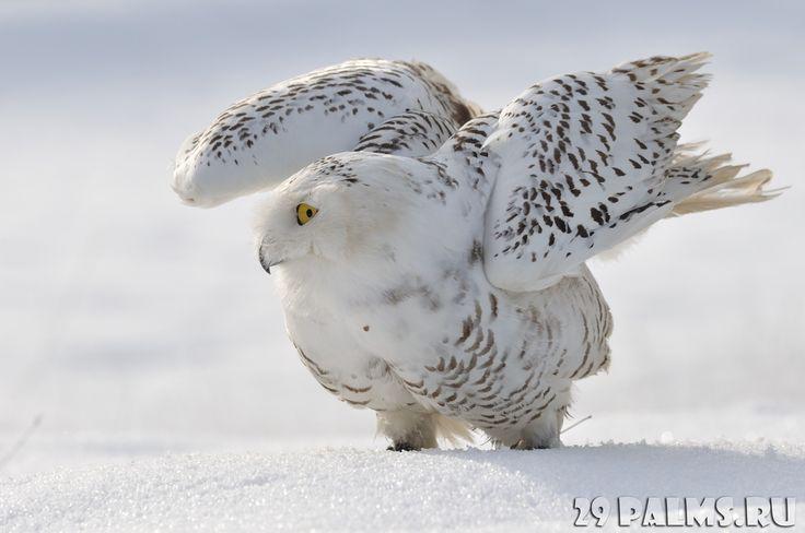 белые совы в арктике ночью: 11 тыс изображений найдено в Яндекс.Картинках