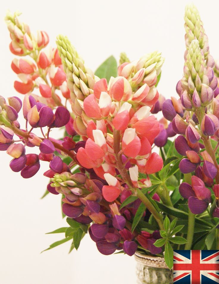 LUPIN | Florissimo, Shropshire - Flowers for weddings, events and businesses in Shropshire and beyond. British-grown lupin generally avail May-Jun