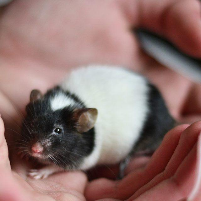 How To Bathe A Pet Mouse Pet Mice Pets For Sale Cute Rats