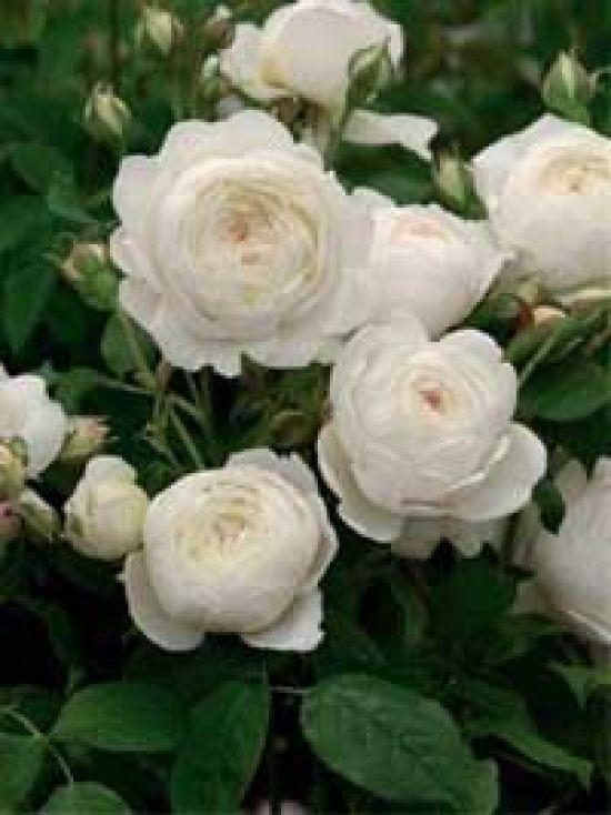 Rosa 'Claire Austin' / Englische Rose 'Claire Austin'