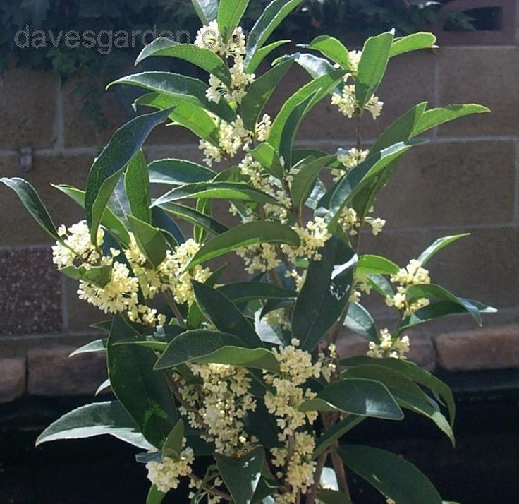 Full size picture of Sweet Olive, Fragrant Tea Olive (Osmanthus fragrans). Zone 7-10b Can get up to 15' Blooms repeatedly Late winter/early spring Late Summer to early Fall. Easy to grow