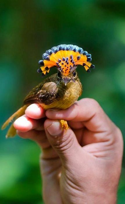 Amazonian Royal Flycatcher (Onychorhynchus coronatus coronatus) | Photo: Rainforest Expeditions