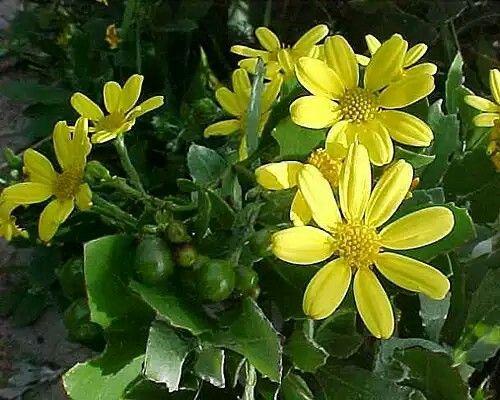 Chrysanthemoides monilifera -edible fruit