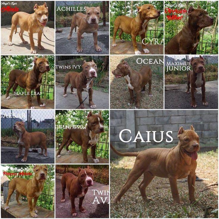 Jual Pitbull Puppies Anak Champion Male Female