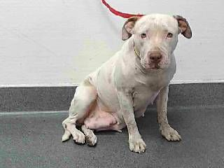 """8/23/17-""""I was used for breeding multiple times"""" - now I'm on the kill list! - Please save me!"""