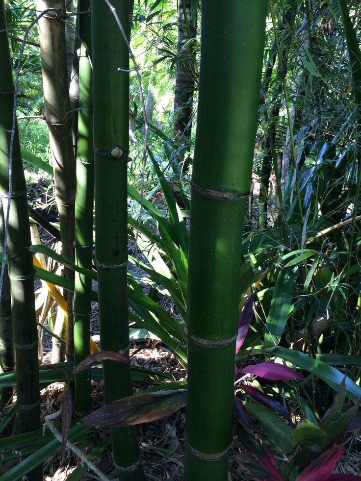 Green Giant Bamboo 'Bambusa vulgaris'