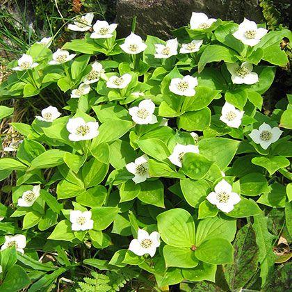 image de Cornus canadensis