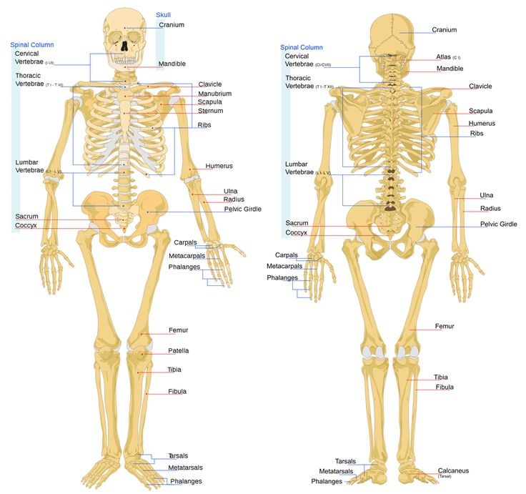anatomy of the bone structure | The adult human skeleton has 206 bones. Click on the image to see a ...