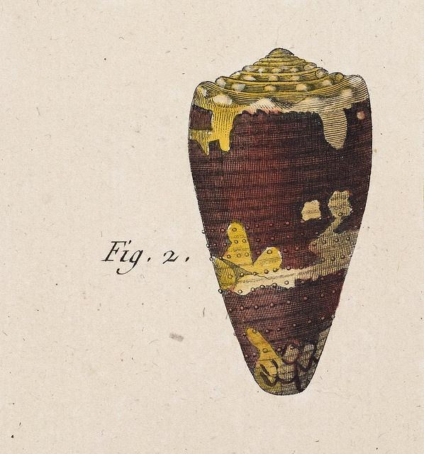 Lamarck - Conus (detail 1) Jean Baptiste (Pierre Antoine) de Monet, Chevalier de Lamarck [1744-1829], Conus 318—Tableau Encyclopédique et Méthodique des Trois Regnes de la Nature—First Edition, Paris 1791-1798.