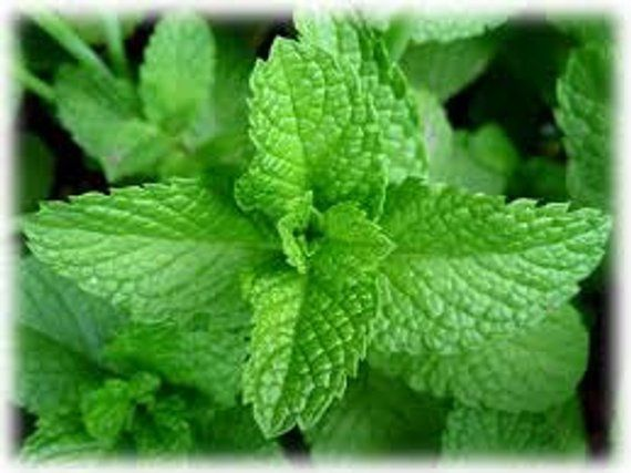 Mentha x piperita Peppermint Seeds