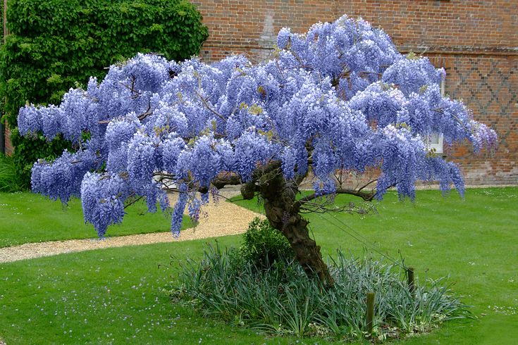 Blue Chinese #Wisteria #Tree is Nature Hill's best-selling plant. These are only grown by one nursery in America and Nature Hills has exclusive rights to this gorgeous tree. In #spring and early summer they explode in long streams of sweet-smelling #flowers that can range from sky #blue to rich #lavender. By #autumn the flowers have transformed into 6 inch long velvet seed pods that add truly unique texture to your fall and winter #landscape.