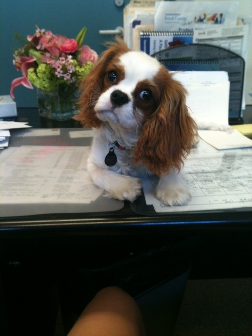 1000 Images About Dogs Cavalier King Charles On