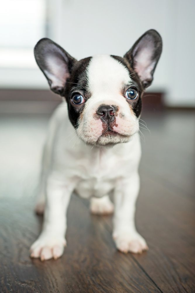 French Bulldog Puppy Dog Puppies Hound Dogs Frenchie ...