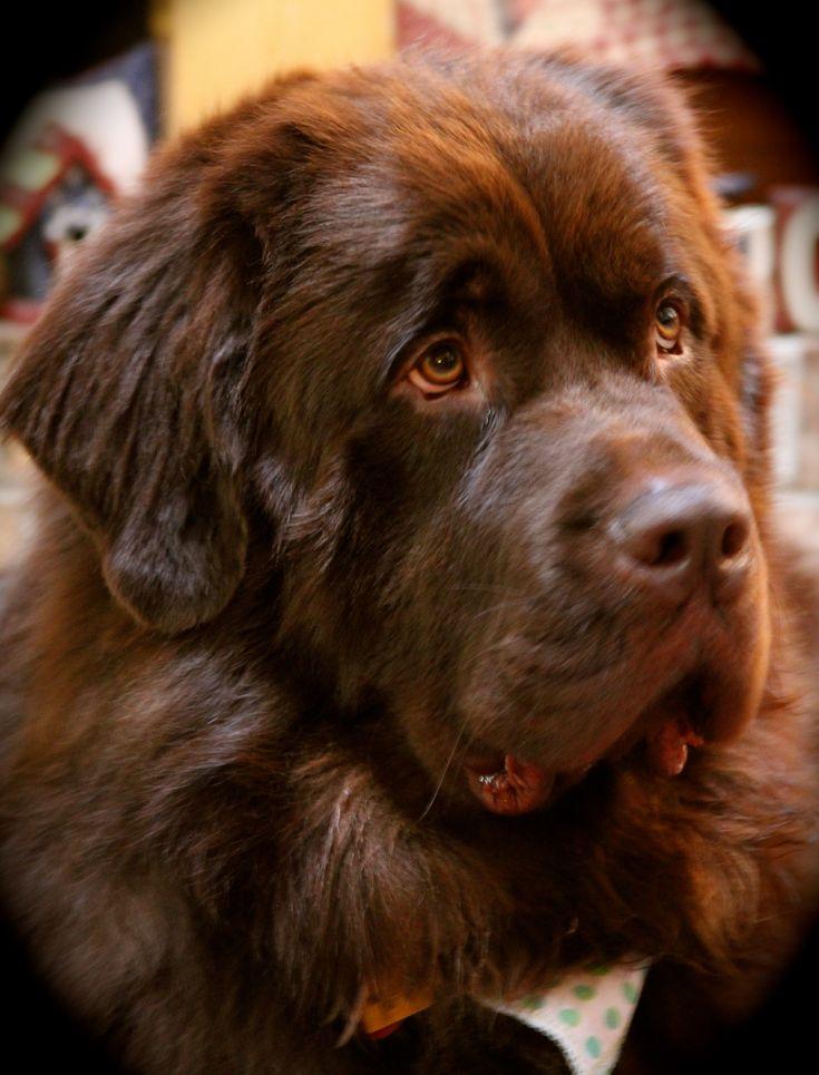 Beautiful NFLD Dog