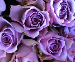 purple roses. gorgeous