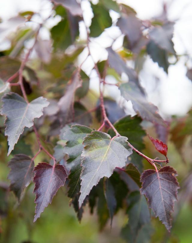 Purppurakoivu 'Bibor' on kaunis ja kapea puu. Photo Teija Tuisku viherpiha.fi