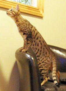 Gia, F3 Savannah cat