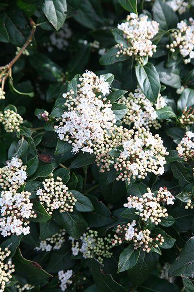 laurustinus Viburnum tinus 'French White'