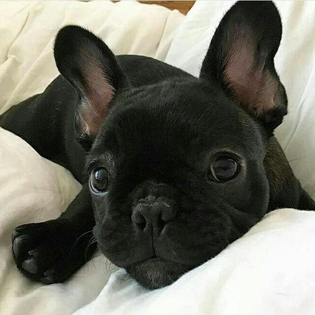 affordable french bulldog best 25 french bulldog puppies ideas on pinterest 7561