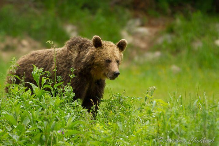 Medveď - jún 2014