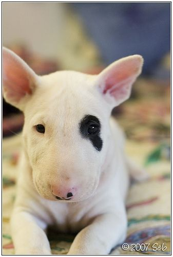 Im in love with these faces. Bull Terrier