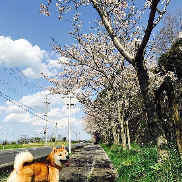 昨日は良い天気でしんたろうとお花見🌸 #しんたろう #柴犬 #愛犬 #日本犬 #外飼い #お外組 #お花見 #桜 #口角キュキュッと部