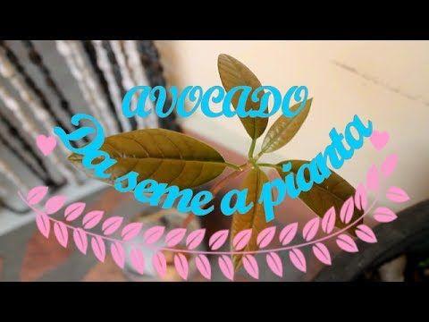 Avocado:  da seme a pianta