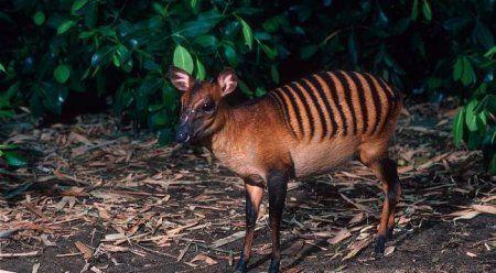 Необычные животные: Зебровый дукер. Небольшая антилопа, обитающая в Западной Африке. Имеют золотистый или красно-коричневый окрас с полосками, как у зебры (отсюда и пошло название). Живут в низменных тропических лесах и в основном питаются листьями и фруктами.