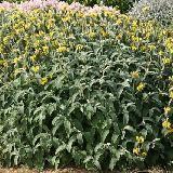 Phlomis fruticosa. Feuilles grises, persistantes. Végétation dense et ramifiée. Floraison jaune vif. Plante parfaitement rustique. Feuillage semi persistant dans l'Est.    Origine : Sud de l'Europe à l'Asie Mineure.