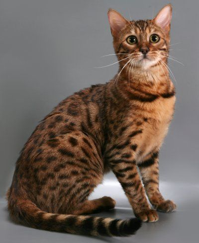 Bengals-Little Lap Leopards